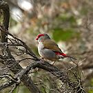 Red-browed Finch - 1176 by Emmy Silvius