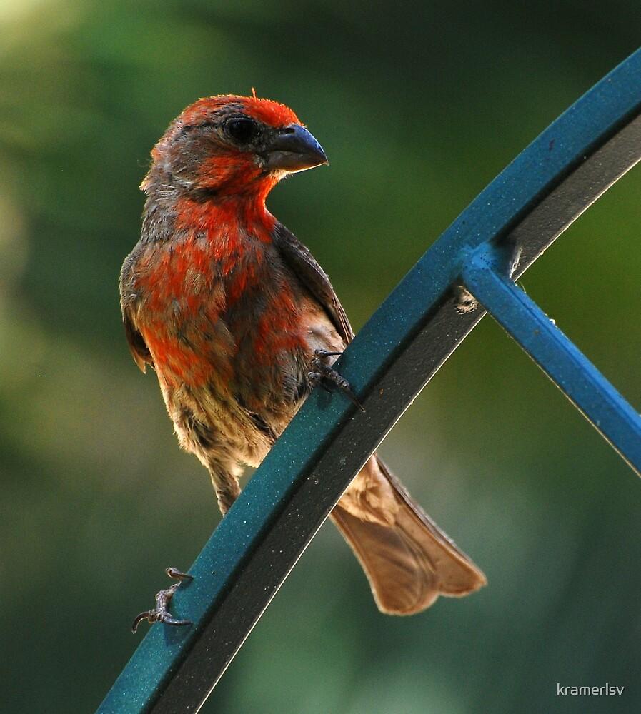 House Finch of Southern Nevada by kramerlsv