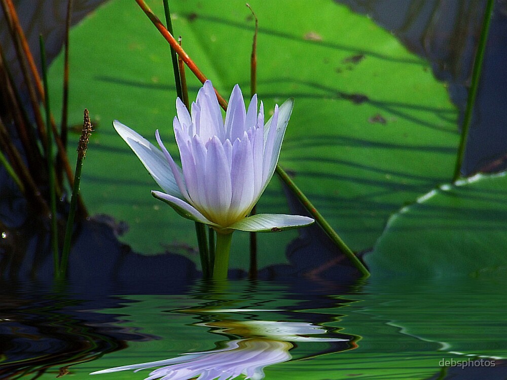 """""""Water Lily""""... by debsphotos"""