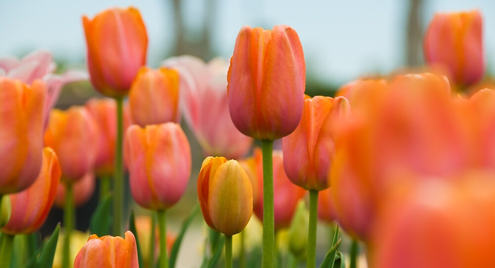 Tulips by Krys Squires