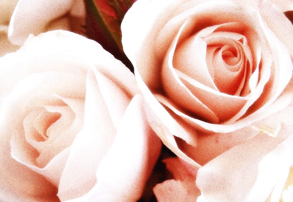 Softly pink roses by Samben Photography