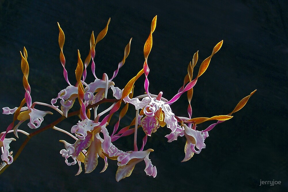 Birthday Orchid by jerryjoe