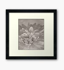 Monochrome Chrysanthemum Close-up  Framed Print