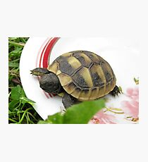 Baby Eastern Hermann's Tortoise at Home Photographic Print