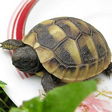 Baby Eastern Hermann's Tortoise at Home by ZipaC