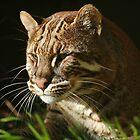 «Asiatic Golden Cat» de ljm000