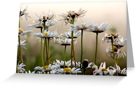 Daisies In The Fog by Scott Ruhs