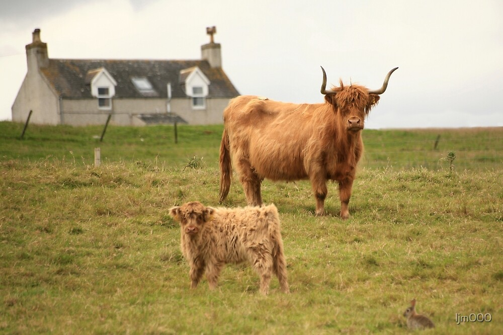 Highland cow and calf Scotland by ljm000