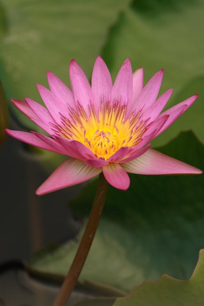 lotus by jchau