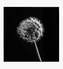 Dandelion Black and White  Photographic Print