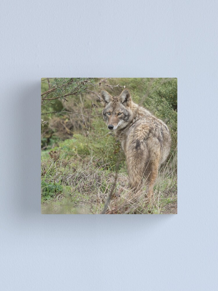 Alternate view of Wandering coyote Canvas Print