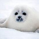 Ice puppy by Anthony Brewer
