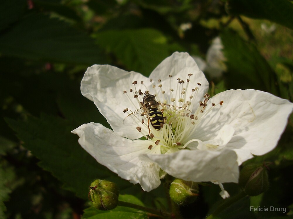 Blackberry Pollination by Felicia Drury