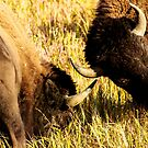Pair of Sparring Buffalo by bengraham