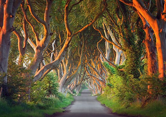 The Dark Hedges -  Game of Thrones - County Antrim -  Northern Ireland by Zdrojewski