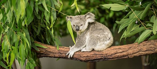 Koala in a eucalyptus tree. by Rob D