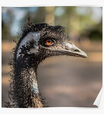 Emu by itself outdoors during the daytime. Poster