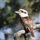 Australian Kookaburra in the wild. by Nikonuser
