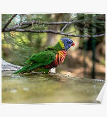Rainbow lorikeet outside during the day. Poster