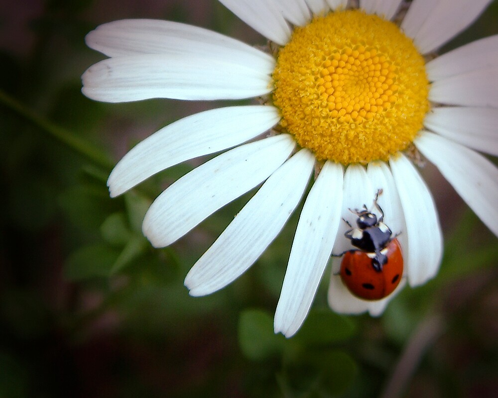Fresh as a Daisy by StaciLynn