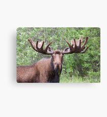 Bull moose with velvety antlers Canvas Print