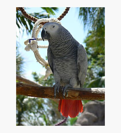 Grey Parrot Photographic Print