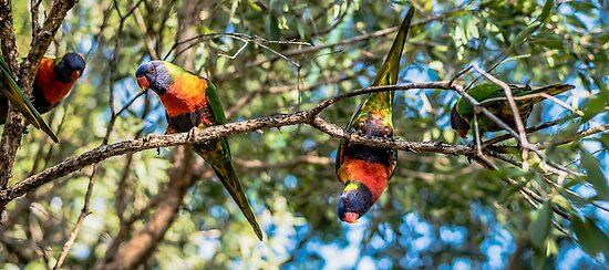 Rainbow lorikeets outside during the day. by Rob D