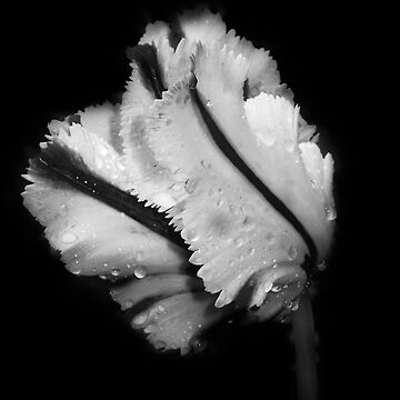 Tulip 6: Fold by jones2427