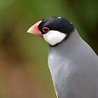 Java Finch by lizdomett