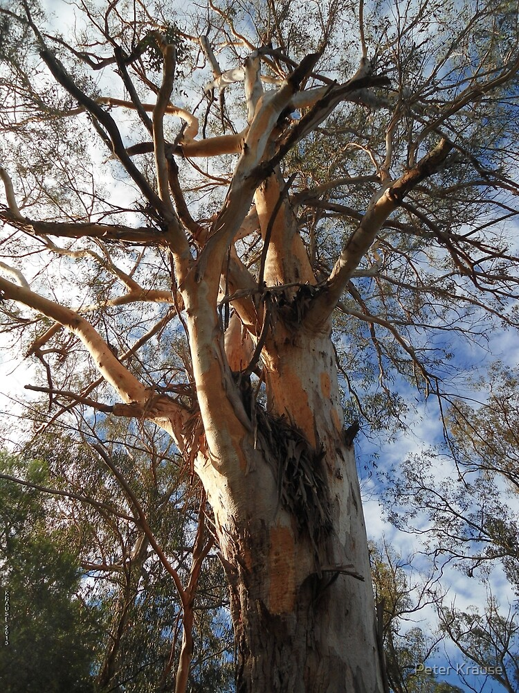 Majestic eucalypt by Peter Krause