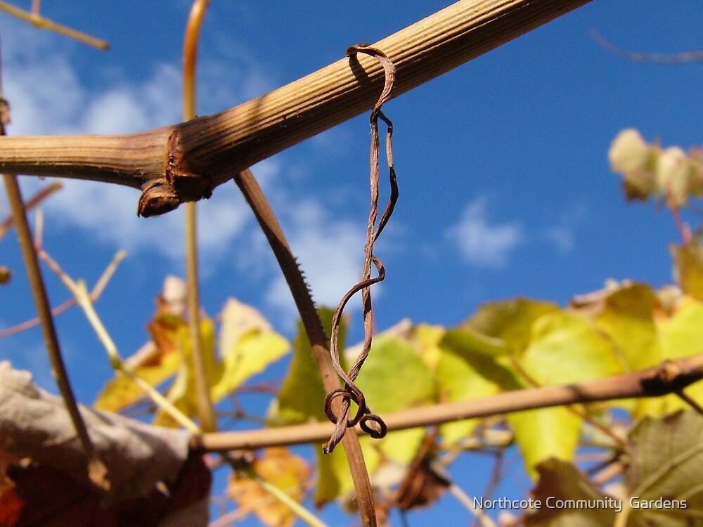 Grape vine by Northcote Community  Gardens
