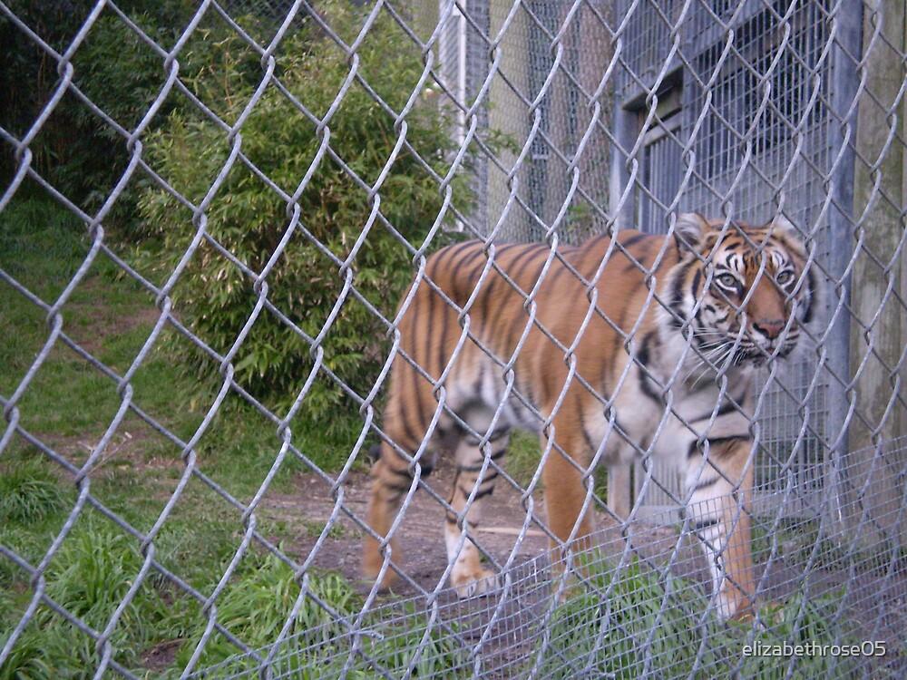 Caged Tiger #2 by elizabethrose05