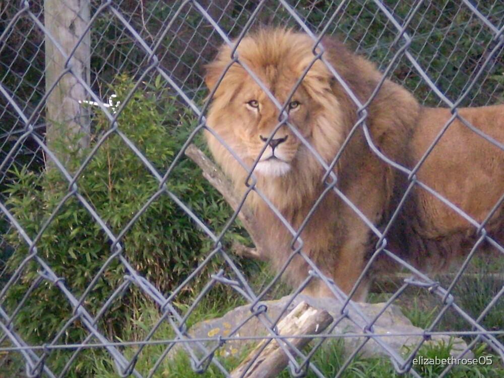Caged Lion #1 by elizabethrose05