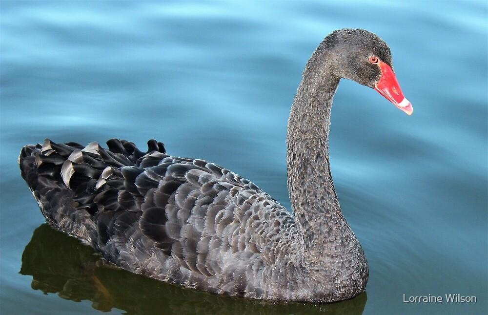 Beautiful Swan by Lorraine Wilson