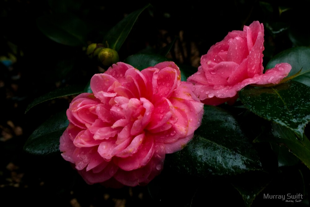 Camelia on a rainy day... by Murray Swift