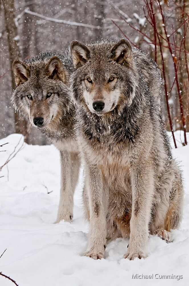 Quot Timber Wolf Pair Quot By Michael Cummings Redbubble