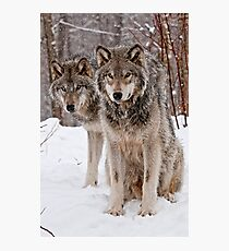 Timber Wolf Pair Photographic Print