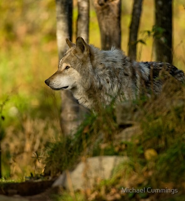 Timber Wolf by Michael Cummings