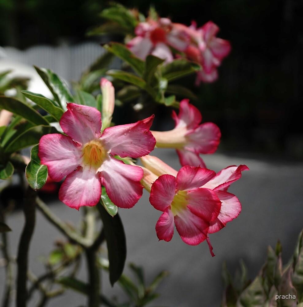 Show Flower 1 by pracha