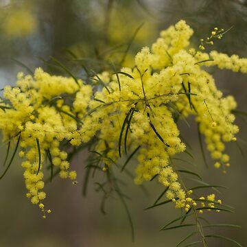 Bursts of joy - wattle flowers by jewelsee