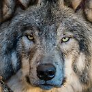 Timber Wolves : Up Close And Personal by Michael Cummings