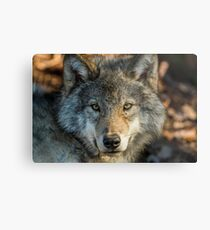 Timber Wolf - Looking at you. Metal Print