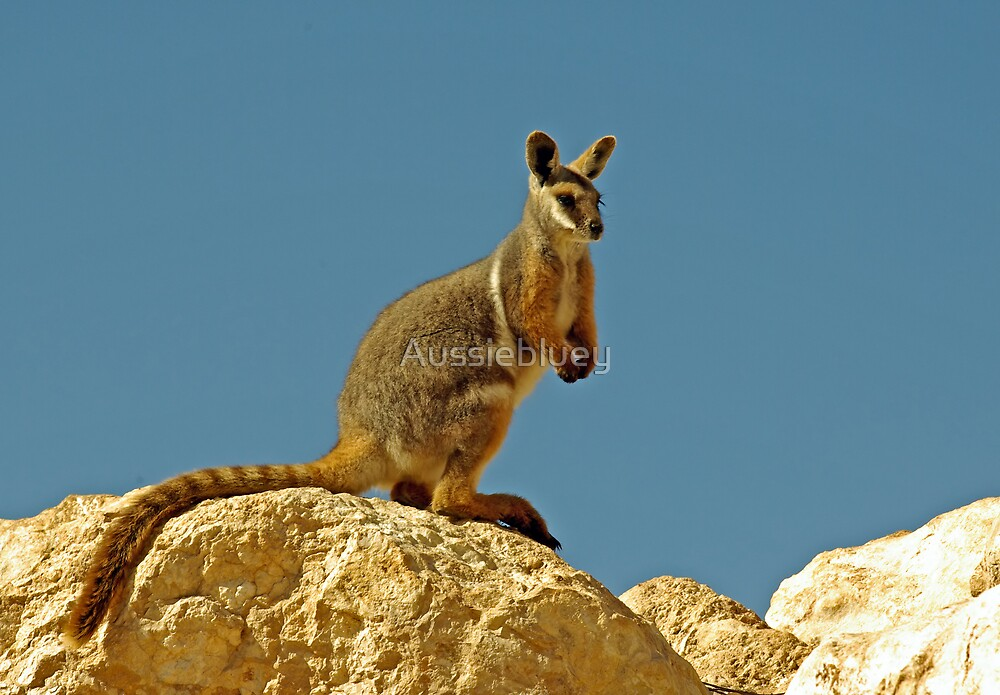 Yellow Footed Rock Wallaby by Aussiebluey