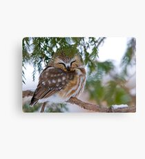 Sleeping Northern Saw Whet Owl - Ottawa, Ontario Canvas Print