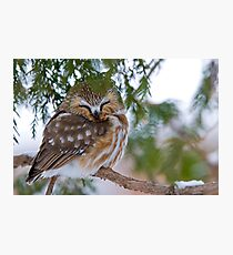 Sleeping Northern Saw Whet Owl - Ottawa, Ontario Photographic Print
