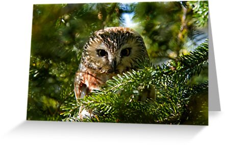 Northern Saw Whet Owl - Amherst Island, Ontario, Canada by Michael Cummings