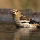 Juvenile Hawfinch by Peter Wiggerman