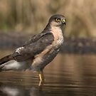 Sparrowhawk - II by Peter Wiggerman
