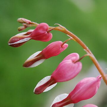 Bleeding Hearts by annamonster