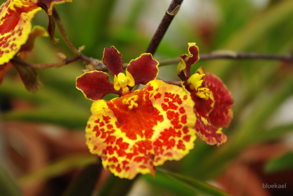 speckled orchid by bluekael